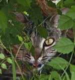 Cat Hiding Under Bush