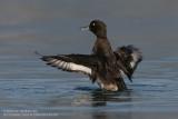 Fuligule morillon - Tufted Duck