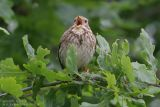 Bruant proyer - Corn Bunting