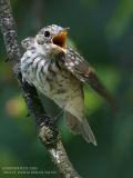 Gobemouche gris - Spotted Flycatcher
