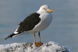Goéland brun - Lesser Black-backed Gull