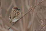 Moineau friquet - Tree Sparrow