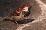 Moineau cisalpin - Italian Sparrow