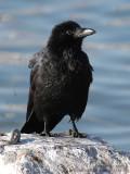 Corneille noire - Carrion Crow