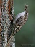 Grimpereau des jardins - Short-toed Treecreeper