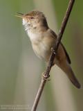 Rousserolle effarvatte - Reed Warbler