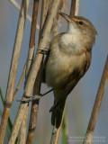 Rousserolle turdoïde - Great Reed Warbler