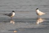 Sterne hansel - Gull-billed Tern