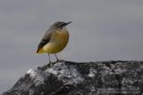 Bergeronnette des ruisseaux  - Grey Wagtail