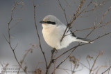 Pie-grièche grise - Great Grey Shrike