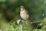 Grive musicienne - Song Thrush