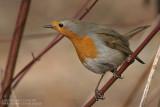 Rougegorge familier - Robin