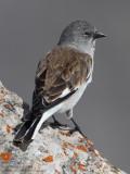 Niverolle alpine - Snowfinch