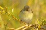 Pouillot fitis - Willow Warbler