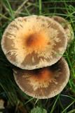 pancake mushroom