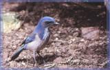 Geai buissonnier (Western Scrub Jay)