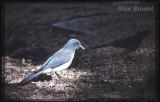 Geai du Mexique (Gray-breasted Jay)