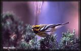 Paruline de Townsend (Townsend's Warbler)