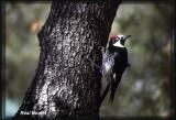 Pic glandivore (Acorn Woodpecker)