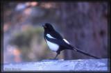 Pie bavarde (Black-billed Magpie)