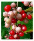 Smilacine à grappes