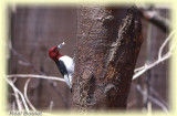 Pic à tête rouge (Red-headed Woodpecker)