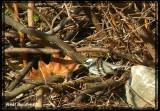 Paruline grise (Black-throated Gray Warbler)