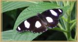 Bolina (Hypolimnas bolina)