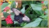 Grand Mormon (Papilio memnon)