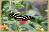 (Heliconius charitonia)