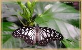 Idéopsis juventa (Ideopsis juventa)