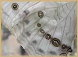 Morpho blanc (Morpho polyphemus)