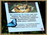 Morpho bleu (Morpho helenor)