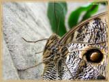 Papillon-chouette (Caligo eurilochus)