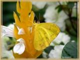 (Phoebis sennae)