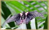 Porte-queue écarlate (Papilio rumanzovia)