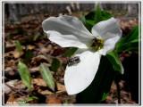 Trille grandiflore (Trillium grandiflorum)