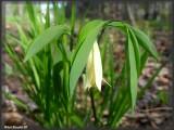 Uvulaire à feuilles sessiles (Uvularia sessilifolia)