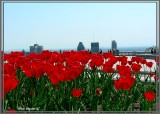Tulipes sur Montréal