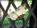 Mesoleuca ruficillata