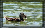 Des canetons sympathiques - Sympatics ducklings