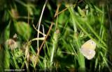 Satyre fauve - Coenonympha inornata