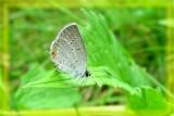 Bleu porte-queues de l'est - Cupido comyntas