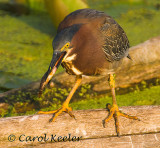 Little Green Heron Eating