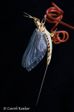 Mayfly on grape tendril