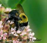 Bumblebee on Milkweed