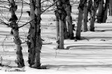 Birches in the Snow