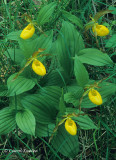 Among the Grasses, Yellow Ladyslippers
