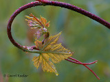 Grape Leaves Unfurling