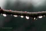 Raindrops on Rose Branch